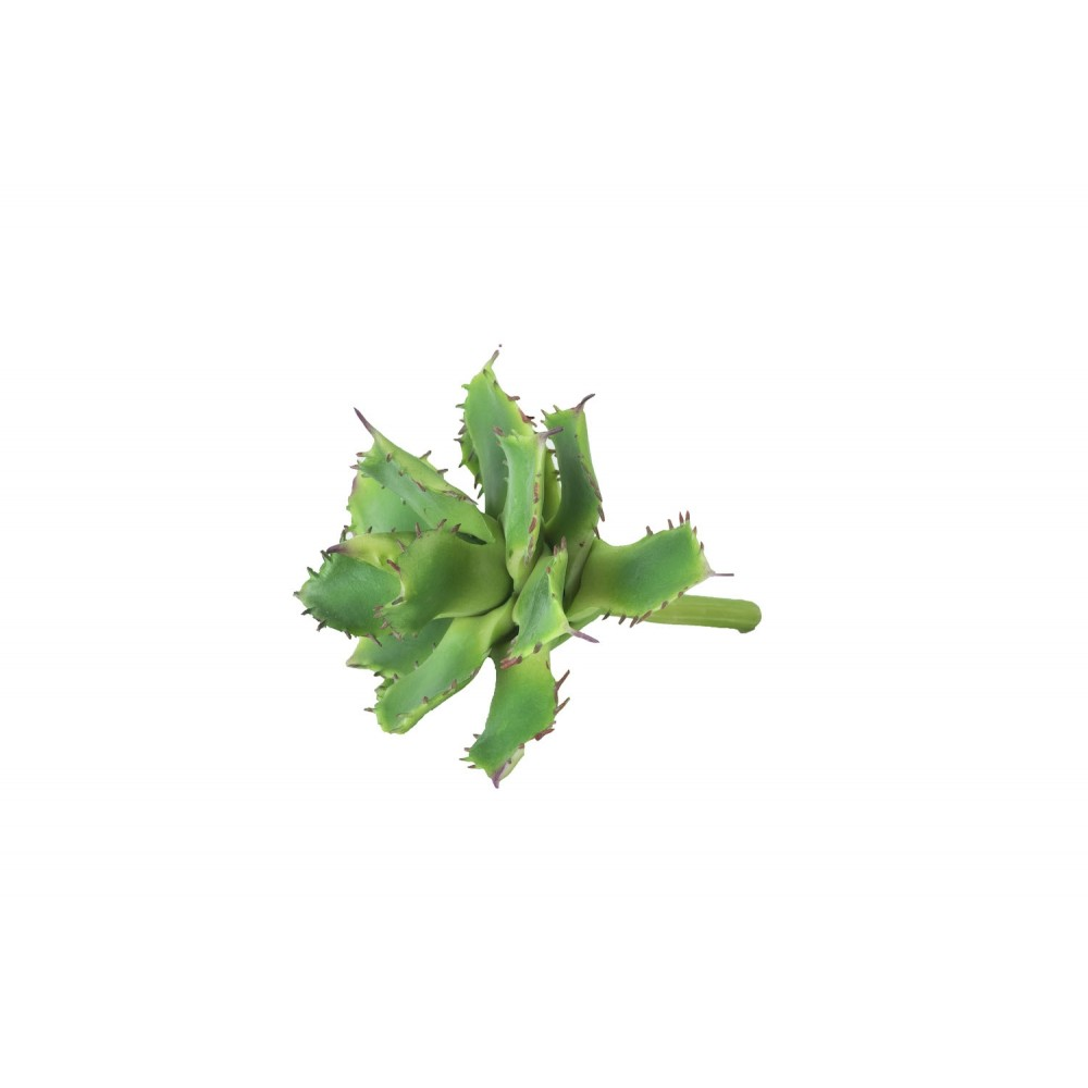 Aloe vera - kaktus